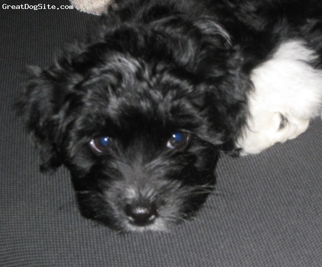"Yorkie Poo, 9 weeks, Black & White, Just got my very first Yorkie-poo (and SMALL dog in general) yesterday. She is a DOLL but it will take a couple days before I decide on a name that fits her. Very loving and a ""Mamma's Baby"" for sure!!!"