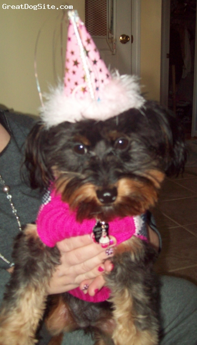 Yorkie Poo, 1 year, Black/Tan, My 1st Birthday Pawty!