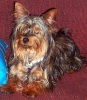 Yorkshire Terrier, 8 Months, Black & Tan