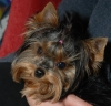 Yorkshire Terrier, 2years, Tan and black
