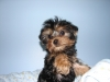 Yorkshire Terrier, 10 weeks, black/gold