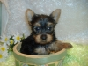 Yorkshire Terrier, 6 weeks, Black and Tan