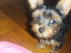 Yorkshire Terrier, 1, BLACK AND BROWN