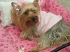 Yorkshire Terrier, 3, mix