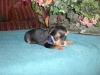 Yorkshire Terrier, 6 weeks, blk/tan