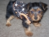 Yorkshire Terrier, 9 WEEKS, BLK/BROWN