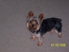 Yorkshire Terrier, 5 years old, black, brown & gray