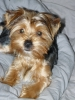 Yorkshire Terrier, 4 MONTHS, TAN AND SILVER