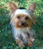 Yorkshire Terrier, 2 year, Gold andSilver