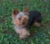 Yorkshire Terrier, 3 year, Gold andSilver