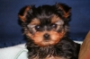 Yorkshire Terrier, puppies, black/gold blue/tan