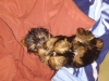 Yorkshire Terrier, 1, black gold and grey