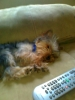 Yorkshire Terrier, 1 year old toy yorkie, greyish blak and tan