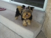 Yorkshire Terrier, 10 months, black and silver
