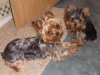 Yorkshire Terrier, 6 months, black and tan