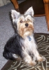 Yorkshire Terrier, 6 months, black and cream