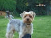 Yorkshire Terrier, 2, grey and tan
