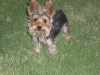 Yorkshire Terrier, 1 YEAR, GRAY/ TAN