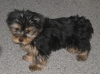 Yorkshire Terrier, 10 weeks, Black & Tan