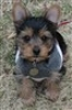 Yorkshire Terrier, 13 Weeks, Black