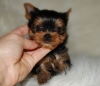 Yorkshire Terrier, 12 weeks, black/gold