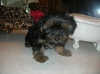 Yorkshire Terrier, 10 weeks, Black/tan