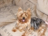 Yorkshire Terrier, 5, Silver & Blue