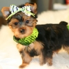 Yorkshire Terrier, 8weeks, black gold