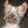 Yorkshire Terrier, 4, Silver/Gold