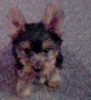 Yorkshire Terrier, 2 1/2 months, black and tan