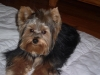 Yorkshire Terrier, 2 Years Old, Blue/Gold