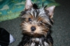 Yorkshire Terrier, 4 months, Blue and Gold
