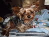 Yorkshire Terrier, 18 months, black tan