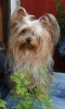 Yorkshire Terrier, 3, grey and white