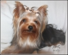 Yorkshire Terrier, 2, Black, tan and grey