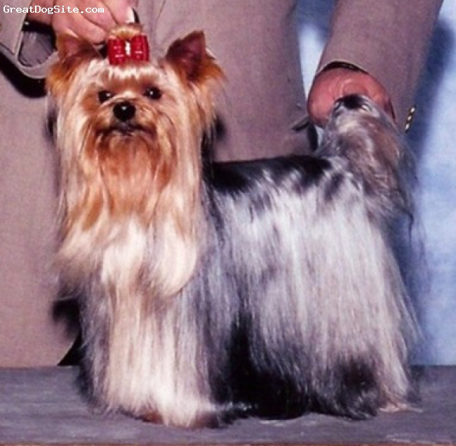 Yorkshire Terrier, 8, black brown, Yorkshire terrier at show