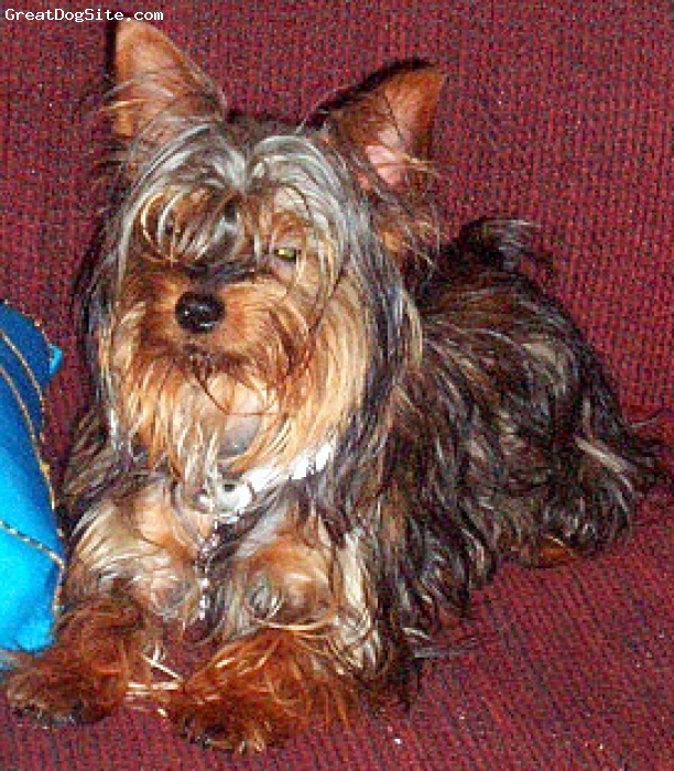 Yorkshire Terrier, 8 Months, Black & Tan, Cute & Lovable Toto