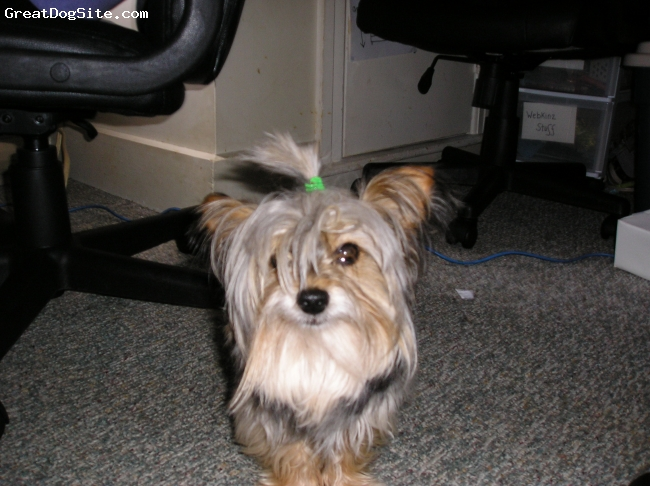 Yorkshire Terrier, 6, black,bloond,brown, aww