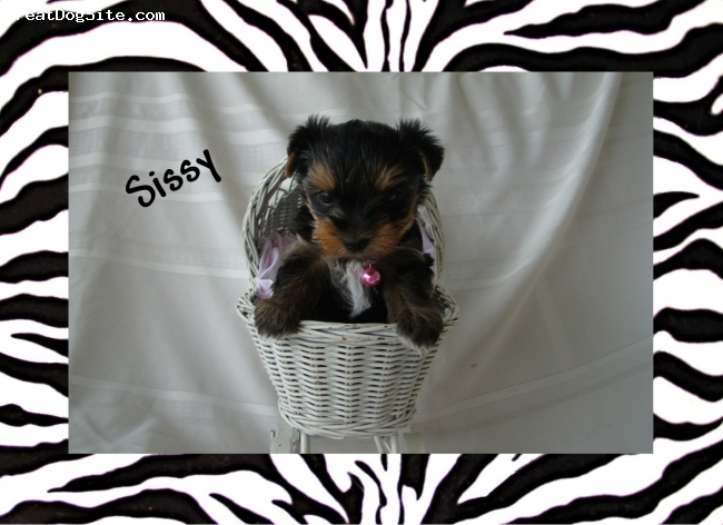 Yorkshire Terrier, 6weeks, b/t, Sissy is a tiny twa cup. She is full of sweetness and will be up for sale soon. Please visit my website at