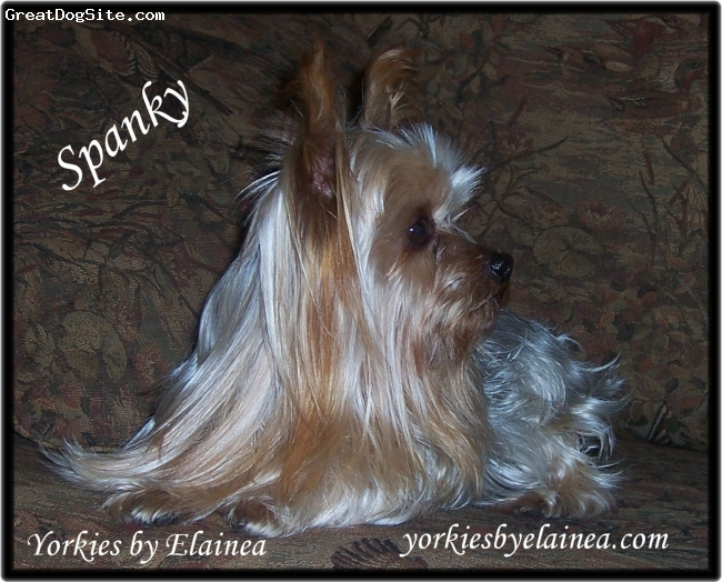 Yorkshire Terrier, 7, Silver & Blue, Hi My name is Elainea.  Here on my Arkansas farm I raise my precious yorkie puppies.  They are wonderful family pets or your own personal companion.  By visiting my website you can see all my available yorkie babies.