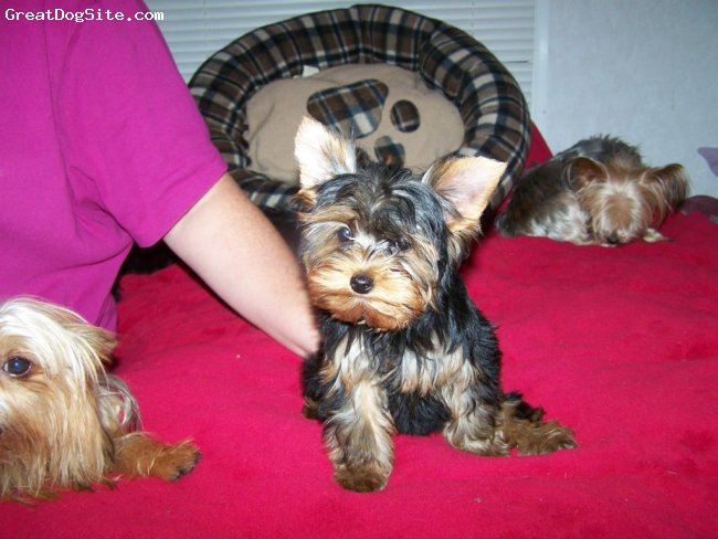 Yorkshire Terrier, 6 months years, Chocolate/gold, Spoiled to no end sweet as can be my baby