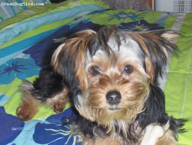 Yorkshire Terrier, 1, BLACK AND BROWN,