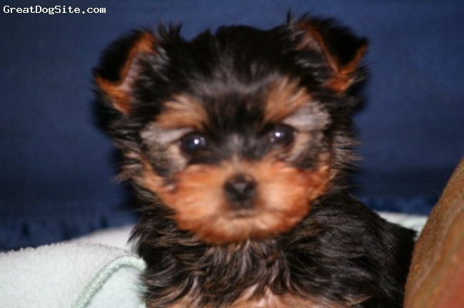 Yorkshire Terrier, puppies, black/gold blue/tan,