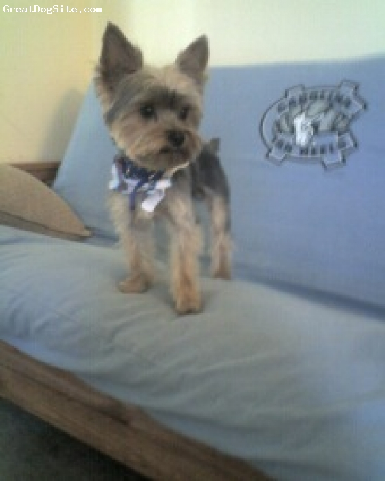 Yorkshire Terrier, 1 year old toy yorkie, greyish blak and tan, after a hair cut