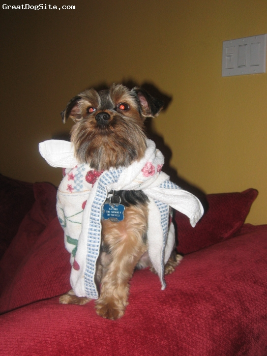 Yorkshire Terrier, 2.5 years, Black and brown, Baxter is being the toweled superhero