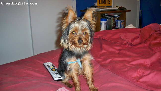 Yorkshire Terrier, unsure, black and yan with some silver, so cute