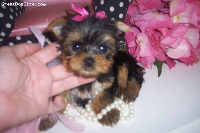Yorkshire Terrier, 9 Wks., Black and Gold, Elegant Teacup and Toy Yorkies and Maltese.  Beautiful Babydoll Faces, Short Compact Bodies, Fabulous Coats.  Loving Personalities.  CREDIT CARDS ACCEPTED, WE SHIP.  See Website,