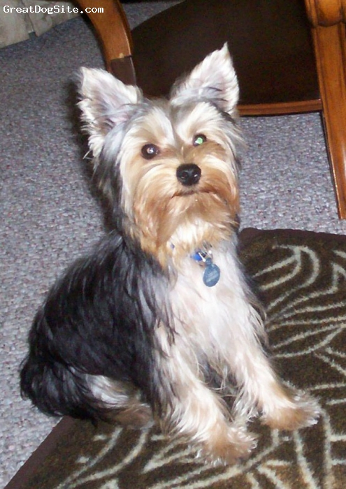 Yorkshire Terrier, 6 months, black and cream, Polo is 5 lbs very sweet, loves to play fetch.