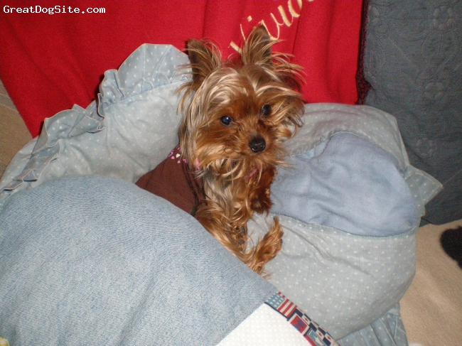 Yorkshire Terrier, 2 years old, black and red, for stud