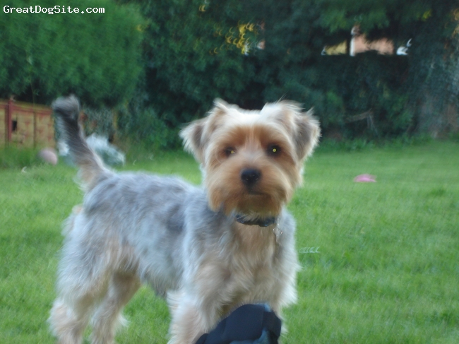 A photo of a 2 old, grey and tan, Yorkshire Terrier - My ...